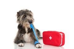 SICK DOG. INJURED AND FUNNY BLACK PUPPY LYING DOWN BITTING AND REMOVING A BLUE BANDAGE OR ELASTIC BAND ON FOOT, PAW AND A royalty free stock images