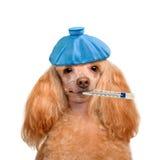Sick dog. Stock Image