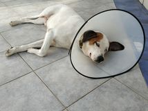 Sick dog lying down with cone collar royalty free stock photo