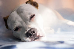 Sick dog napping Royalty Free Stock Images