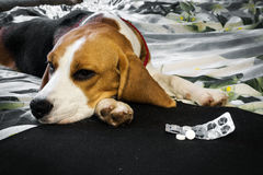 Sick dog with pills. Own sick dog beagle with sad eyes before packing tablets stock photos