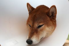 Sick dog. Sad Shiba inu dog wearing protective with cone collar royalty free stock photos