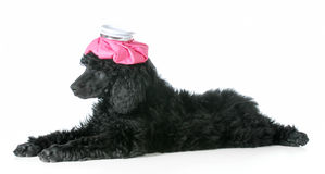 Sick dog. Standard poodle puppy with hot water bottle one head isolated on white background Stock Photos