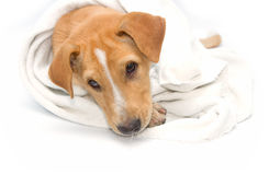 Sick dog under a blanket, isolated Royalty Free Stock Photos