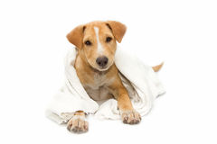 Sick dog under a blanket, isolated. On white Royalty Free Stock Images
