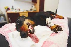 Sick dog in the veterinary clinic Stock Photos