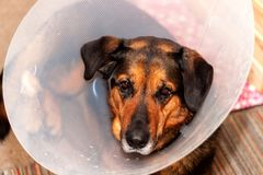 Free Sick Dog Wearing A Funnel Collar. Treatment Of Injured Hind Legs Of A Dog. Royalty Free Stock Image - 101381086
