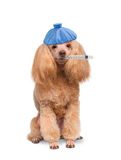 Sick dog. Stock Photography