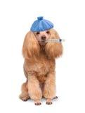 Sick dog. Sick dog  on white Stock Photography