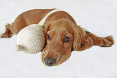 Sick English  cocker spaniel. Sick young English cocker spaniel Stock Photography