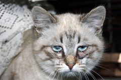 Sick eyes of a young beautiful cat royalty free stock photography