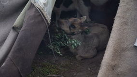 Sick Fawn in the tent. The Yamal Peninsula. stock footage
