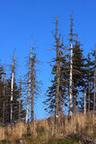Sick forest. Dead tress in mountain forest stock photo