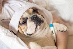 Sick french bulldog dog with headache in bed resting. Sick ill french bulldog dog with headache in bed resting Royalty Free Stock Image