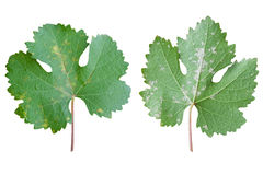 Sick grape leaf closeup isolated Royalty Free Stock Photo