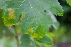 Sick grape leaf closeup Stock Images