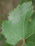 Sick grape leaf closeup Royalty Free Stock Image