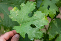 Sick grape leaf closeup Royalty Free Stock Photos