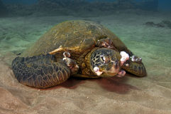 Sick Green Sea Turtle Royalty Free Stock Images