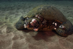 Sick Green Sea Turtle Stock Photography
