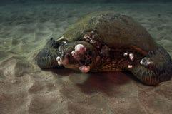 Sick Green Sea Turtle Stock Photography