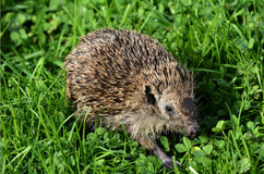 Sick Hedgehog Royalty Free Stock Photos