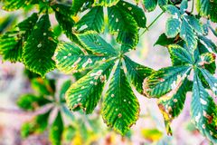 Sick horse chestnut leaves royalty free stock photos