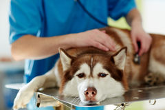 Sick husky dog Stock Images