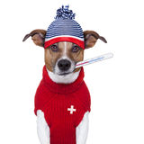 Sick ill cold dog  with fever. And hat Royalty Free Stock Image