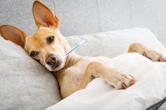 Sick ill dog in bed Stock Image