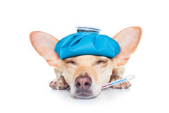 Sick ill dog. Chihuahua dog with  headache and hangover with ice bag or ice pack on head,thermometer in mouth with high fever, eyes closed suffering , isolated Royalty Free Stock Photo
