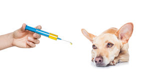Sick ill dog. Chihuahua dog  with  headache and sick , ill or with  high fever, suffering ,syringe on its way,  isolated on white background Royalty Free Stock Image