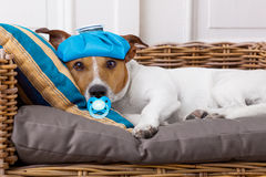 Sick ill dog with fever. Sick and ill jack russell  dog resting  having  a siesta upside down on his bed with his teddy bear,   tired and sleepy Royalty Free Stock Images