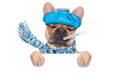 Sick ill dog. French bulldog dog  with  headache and hangover with ice bag on head,thermometer in mouth with high fever, eyes closed suffering , behind  a blank Stock Photo