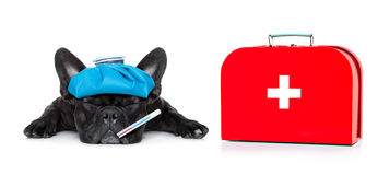 Sick ill dog. French bulldog dog  with  headache and hangover with ice bag or ice pack on head, eyes closed suffering , first aid kit beside,  isolated on white Stock Images