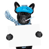 Sick ill dog. French bulldog dog  with  headache and hangover with ice bag or ice pack on head, eyes closed suffering , holding a blank banner or placard Royalty Free Stock Images