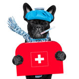 Sick ill dog. French bulldog dog  with  headache and hangover with ice bag or ice pack on head, eyes closed suffering ,holding a first aid kit isolated on white Royalty Free Stock Photos