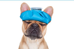 SICK ILL DOG. French bulldog dog  with  headache and hangover with ice bag or ice pack on head, eyes closed suffering , isolated on white background Royalty Free Stock Image