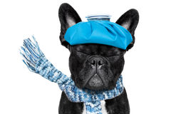 Sick ill dog. French bulldog dog  with  headache and hangover with ice bag or ice pack on head, eyes closed suffering , isolated on white background Royalty Free Stock Images