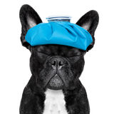 Sick ill dog. French bulldog dog  with  headache and hangover with ice bag or ice pack on head, eyes closed suffering , isolated on white background Stock Photos