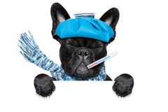 Sick ill dog. French bulldog dog  with  headache and hangover with ice bag or ice pack on head, eyes closed suffering , isolated on white background, behind Royalty Free Stock Images