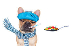 Sick ill dog. French bulldog dog  with  headache and hangover with ice bag or ice pack on head,thermometer in mouth with  fever, eyes closed suffering Royalty Free Stock Image