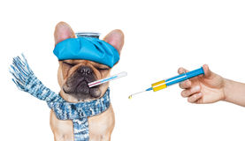 Sick ill dog. French bulldog dog  with  headache and hangover with ice bag or ice pack on head,thermometer in mouth with high fever, eyes closed suffering Stock Photos