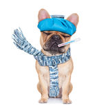 SICK ILL DOG. French bulldog dog  with  headache and hangover with ice bag or ice pack on head,thermometer in mouth with high fever, eyes closed suffering Royalty Free Stock Image