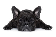 Sick ill dog. French bulldog dog sleeping on the ground isolated on white background Stock Photos