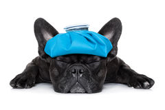 Sick ill dog. French bulldog dog very sick with ice pack or bag on head, eyes closed and suffering isolated on white background Stock Photos