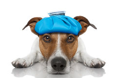 Sick ill dog. Sick and ill jack russell dog on the floor with hangover and fever with ice bag on head, isolated on white background Royalty Free Stock Images