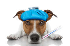 Sick ill dog. Sick and ill jack russell dog on the floor with hangover and fever with ice bag on head, with thermometer in mouth, isolated on white background royalty free stock photo