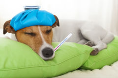 Sick  ill dog. Sick and ill jack russell  dog resting  having  a siesta on  bed,   tired and sleepy with fever thermometer Stock Images