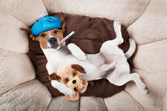 Sick ill dog. Sick and ill jack russell dog resting having a siesta upside down on his bed with his teddy bear, tired and sleepy royalty free stock photography